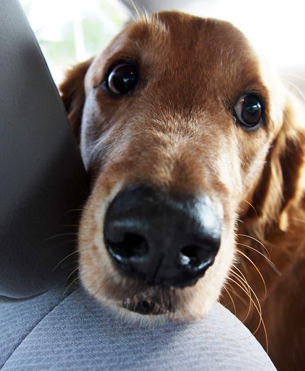 Un regard long veut en dire beaucoup pour un chien. Il vous aime !