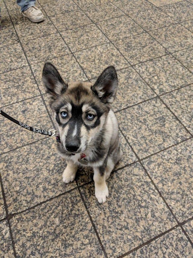 Masque de voleur 100% naturel pour ce chien ! Il ne manquerait plus qu'il soit de la police !