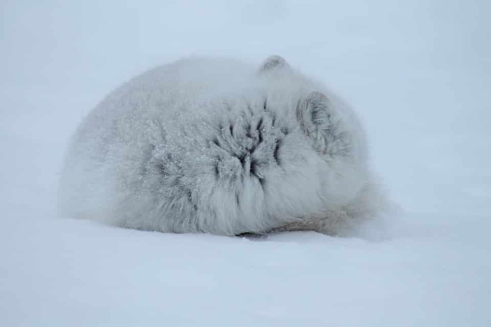 13. Le renard polaire Un renard c'est déjà adorable, mais alors un renard polaire c'est le summum de la mignognitude !