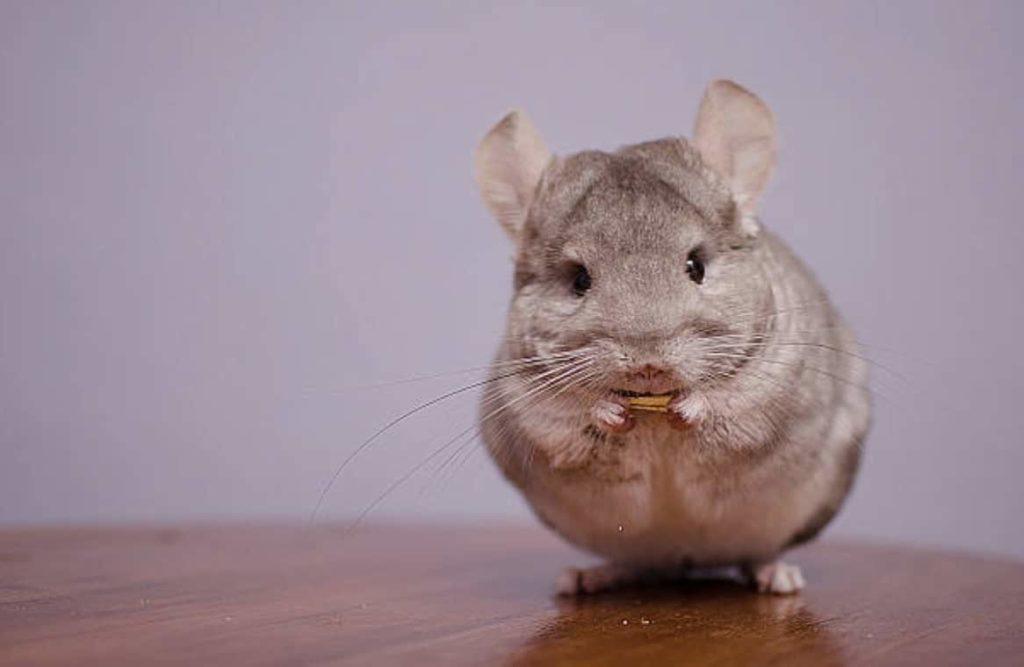 14. Le chinchilla Le chinchilla est un petit rongeur qui possède des oreilles de souris et un corps tout en rondeurs.