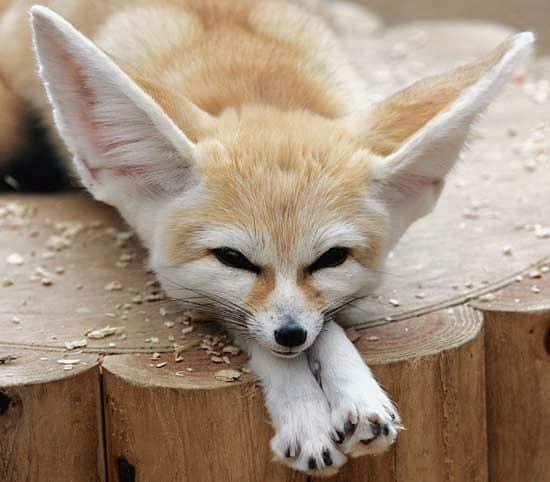 10. Le fennec Le fennec, aussi appelé renard des sables, est un petit renard qui possède de très longues oreilles.