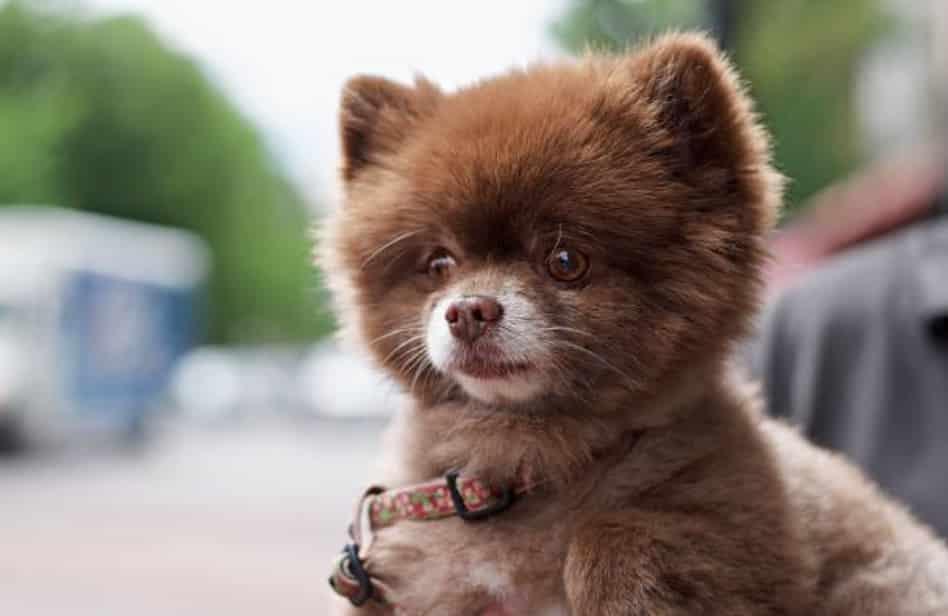 12. Le Loulou de Poméranie Le Loulou de Poméranie, aussi appelé Spitz nain, est un petit chien à la tête vraiment mignonne.