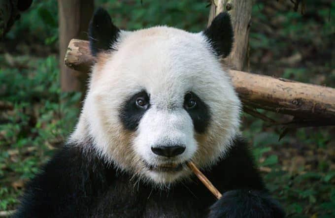 9. Le panda géant Le panda géant a un physique de gros nounours pataud contre lequel on a envie de se lover.