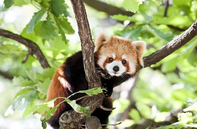 2. Le panda roux Le panda roux semble tout droit sorti d'un dessin animé.