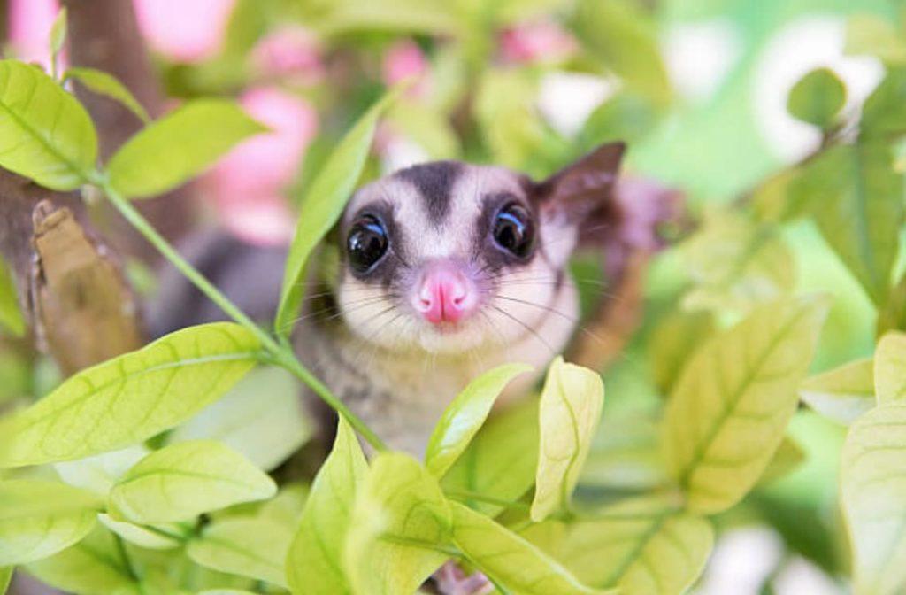 1. Le phalanger volant Le phalanger volant est un petit marsupial qui semble issu d'un mélange subtil entre un kangourou et un écureuil.