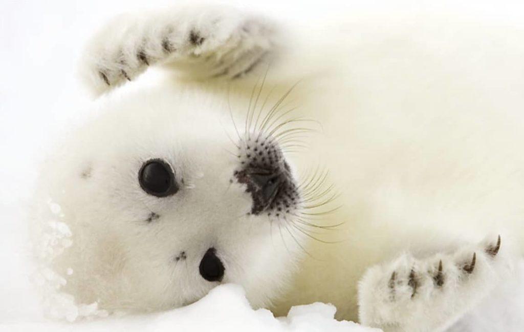 11. Le phoque du Groenland Le phoque du Groenland est blanc à la naissance puis, en grandissant, sa fourrure devient argentée avec des taches noires.