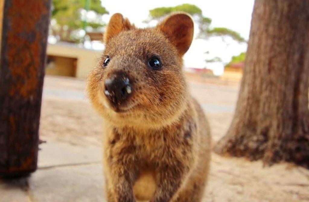 3. Le quokka Le quokka est un petit marsupial qui vit uniquement en Australie.