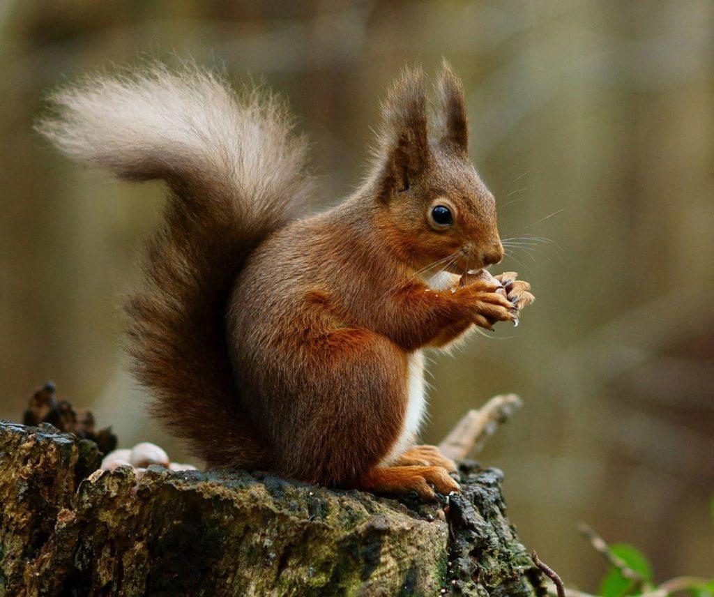 4. L'écureuil Il n'y a pas à dire, un écureuil c'est terriblement mignon. Surtout quand ça mange sa petite noisette…