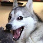 Top 14 des preuves que les Husky sont les chiens les plus cons - 21 trends