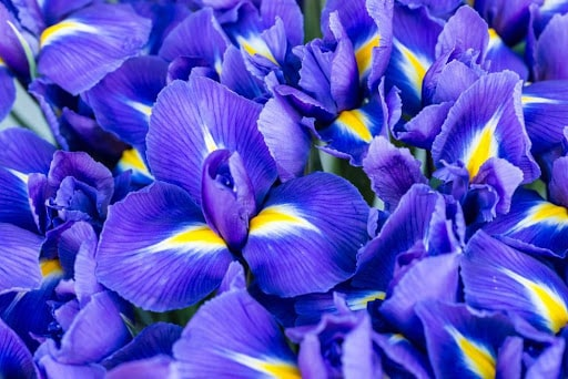 21 Trends - L'iris