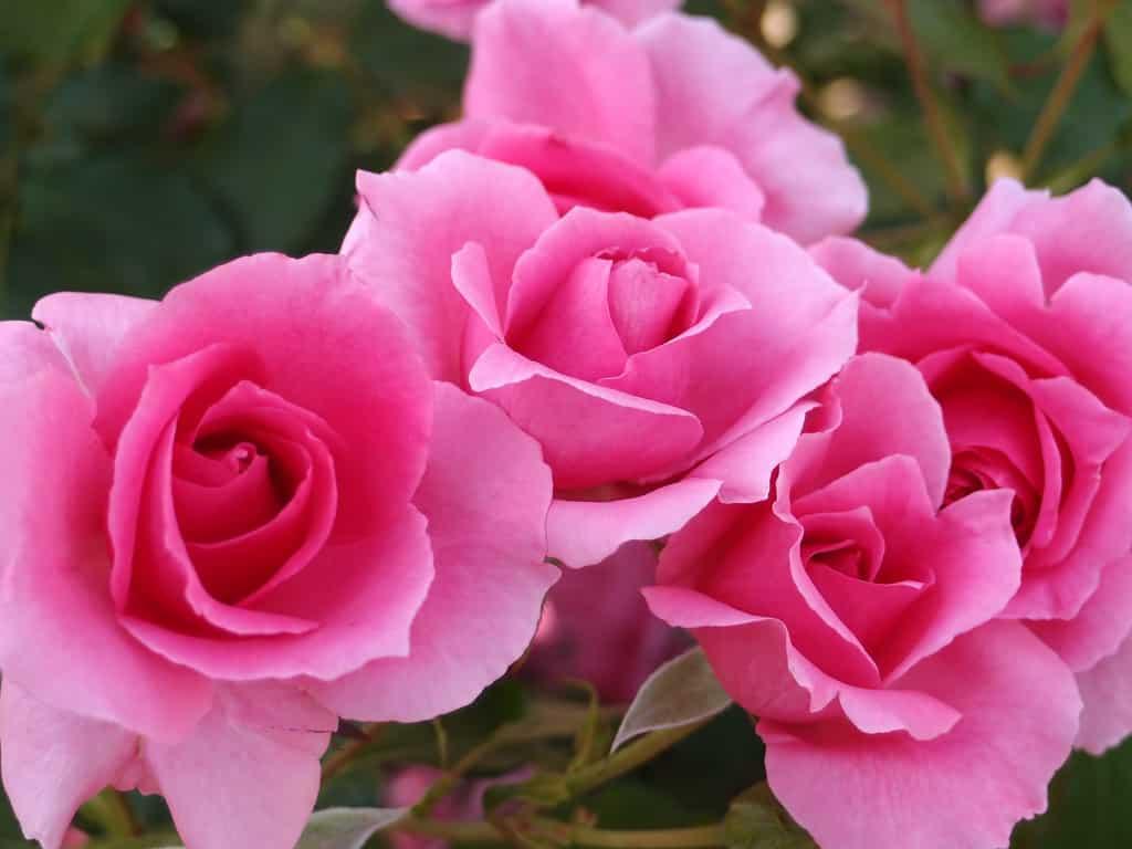 21 Trends - La rose
