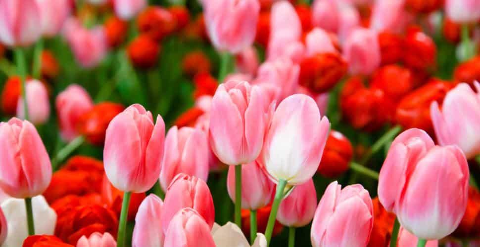 21 Trends - La tulipe