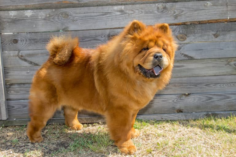 21 Trends - Le Chow-Chow