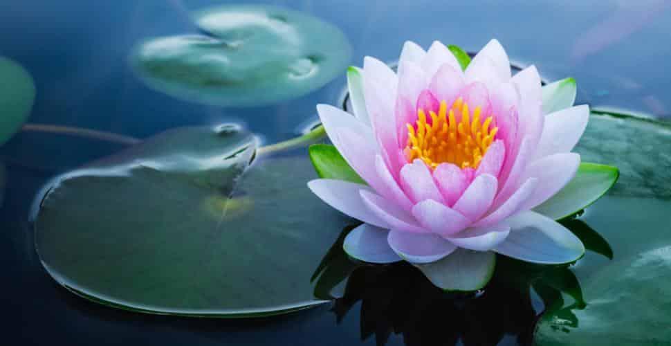 21 Trends - Le lotus