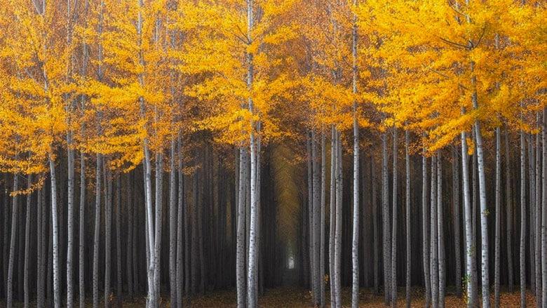 21 Trends - Forêts de peupliers